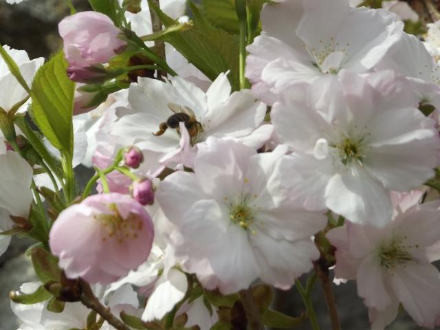 Méhecske virágpor gyűjtése közben