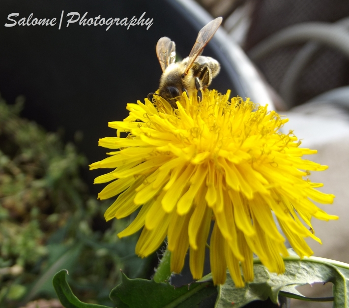 Little bee on the Dandelion