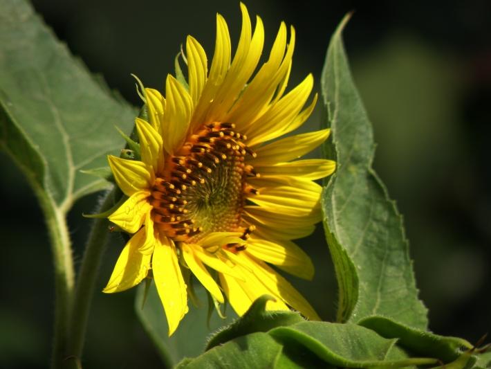 Napraforgó virágzás